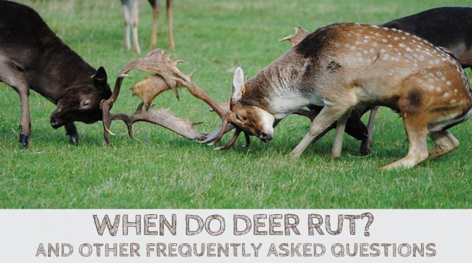 When Do Deer Rut