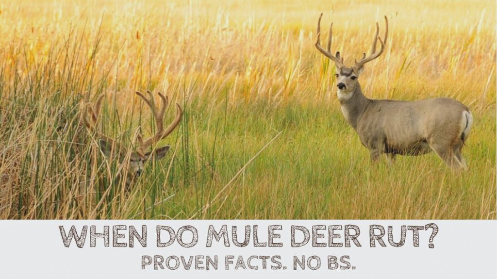 When Do Mule Deer Rut? Proven Facts. No BS.
