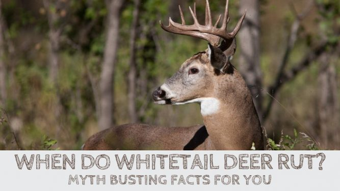 When Do Whitetail Deer Rut