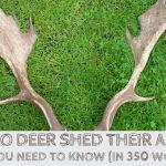 When Do Deer Shed Their Antlers? All You Need To Know (In 350 Words)