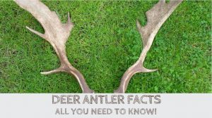 Read more about the article Deer Antler Facts